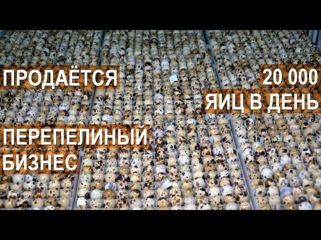 💲 Продажа перепелиного бизнеса 💲 Ферма Перепёлочка 20 000 яиц в день Общая площадь 1600 квадратов