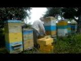 Пчеловодство bee ( Осмотр сем. № 7.)Измайлов Г. Б.