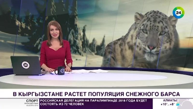 В Кыргызстане увеличилась популяция снежного барса - МИР 24