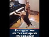 Собака аккомпонировала себе на пианино