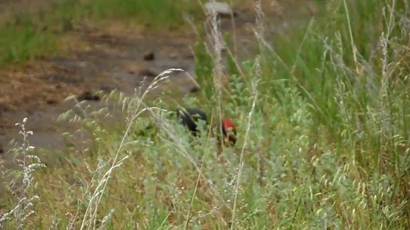 Желна́, или чёрный дя́тел (лат. Dryocopus martius)