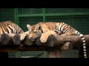 Амурские тигрята в Фельдман Экопарк
