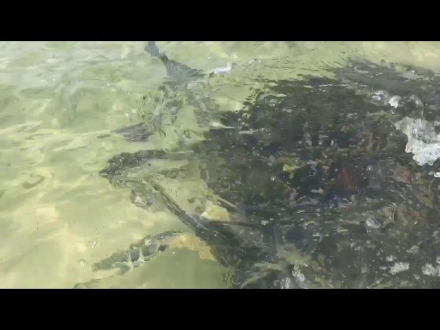 Огромная черепаха приплыла на многолюдный пляж