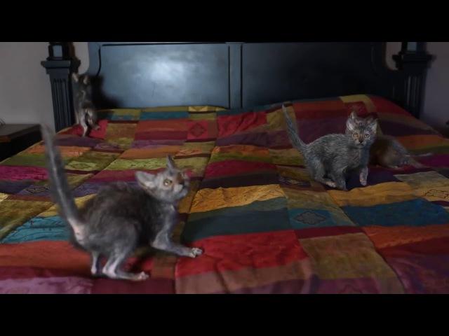 Ликой - кот-оборотень