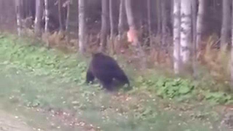 Медведь на трассе Медгора-Пудож