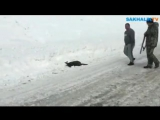 На Сахалине застрелили очень редкое животное - краснокнижную кабаргу