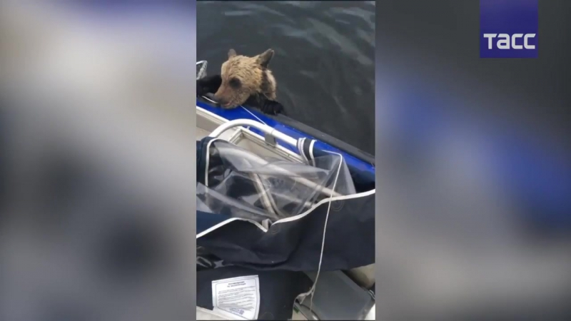Кадры спасения медвежат рыбаками в Карелии