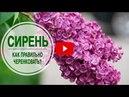 Цветущие кустарники для сада 🌺 СИРЕНЬ ➡ Как правильно черенковать 🌺 Мастер класс hitsadTV