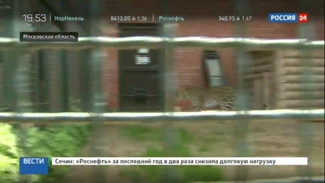 Новости на «Россия 24» • Леопард Николай прилетел с Дальнего Востока в Москву