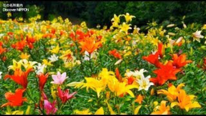 [HD]ところざわのゆり園(埼玉県・所沢市)Lily Garden in Tokorozawa 花の名所案内Flowers Gard