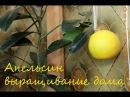 Апельсин Вашингтон Навел выращивание уход плодоношение