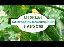 Как продлить плодоношение огурцов в открытом грунте В августе