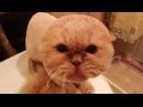 Кот смешно ругается после стрижки.