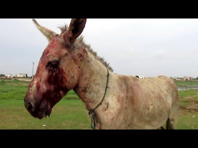 Als diesem blutig geschlagenem Esel geholfen wird,passiert das Unfassbare...