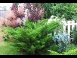 Сорта можжевельников. Какие бывают можжевельники Обзор хвойных растений для сада