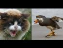 Кот против селезня. Бои животных. Жесть