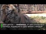 Шесть тигрят мамы Фриды_ пополнение в крымском сафари-парке Тайган