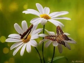 Когда в душе проснется старый страх О том, что будет завтра, и как жить Я вспоминаю бабочек в цветах, Им день всего позволено лю