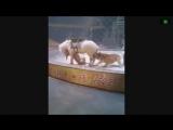 Тигр и лев напали на лошадь в китайском цирке