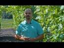 Как вырастить большие грозди винограда Секреты по выращиванию от виноградаря Д
