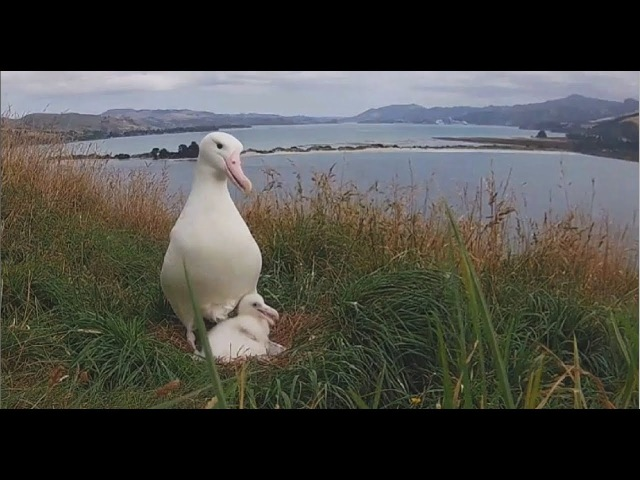 2018/02/14 Royal Albatross~The little one has grown up~3:07pm