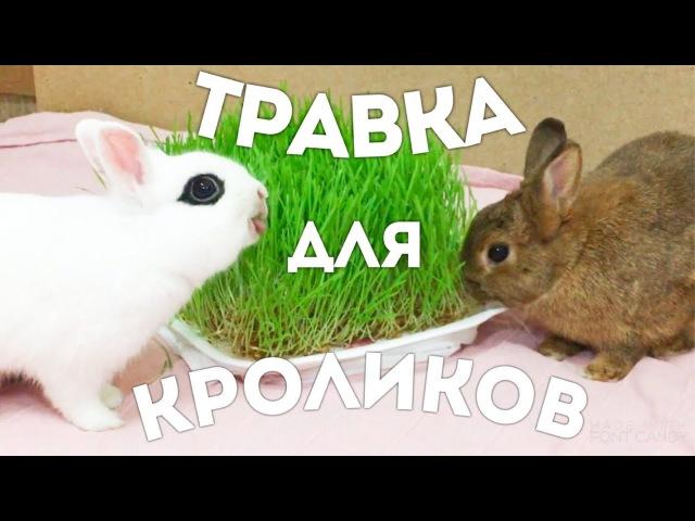 Витграсс. Как прорастить пшеницу (травку) для кролика. Без земли, опилок и плесени