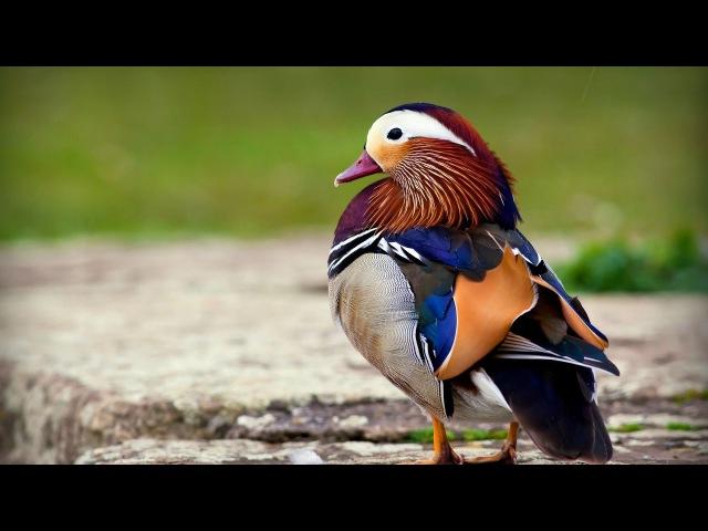 Утка мандаринка Павлин отдыхает самая красивая утка на земле