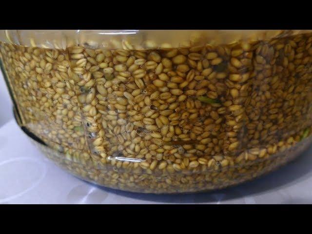 Рецепт пшеничной браги на диких дрожжах