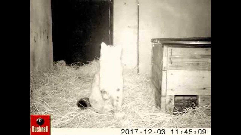 Лесной дальневосточный кот Терней. Первые дни в Центре реабилитации в селе Алек ...