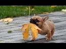 Funny And Cute French Bulldog Puppies Compilation 9