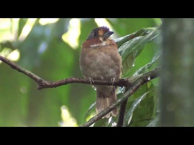 Rufous necked Puffbird Златолобая малакоптила Malacoptila rufa