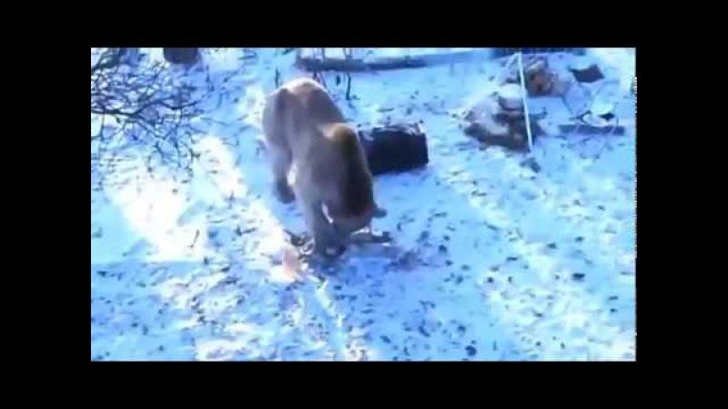 Тачка Медведю на прокачку или как неудачные охотники с Медведем повстречались ( ...