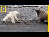 Mother Polar Bear, Desperate for Food, Tests Walrus National Geographic