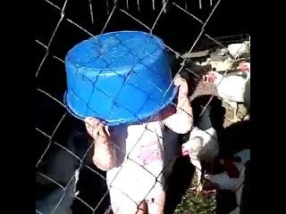 Курица укусила мальчика за письку