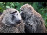 Подлый бабуин. Смешное видео. Польша.