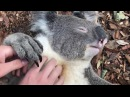 KOALA BELLY TICKLES!