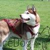 Ice Dog (Ошейники, поводки, шлейки)