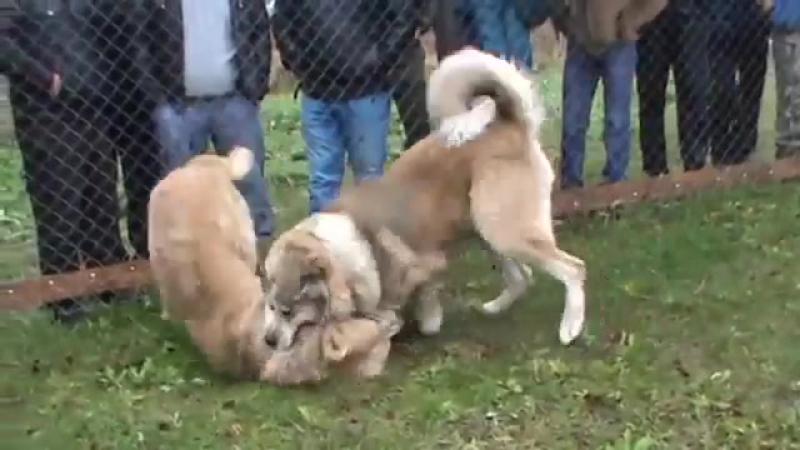 Кавказский волкодав ДРАКОН VS Алабай Джигит (ТИ, собачьи бои)
