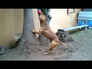 Muscle pit bull ace update#3 - youtube.mp4