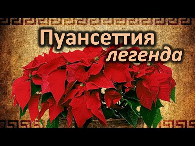 Пуансеттия или Рождественская звезда. Легенда, История, Традиции!