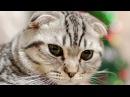 Шотландский кот вредитель