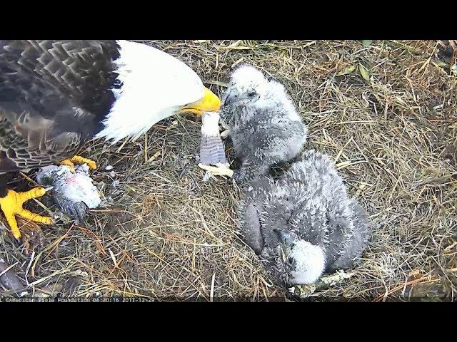 NE19 Swallows The Fish Tail 12.29.17 AEF-NEFL