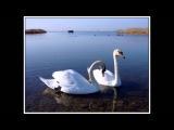 Лебеди. исп. Рядовой Дарин.