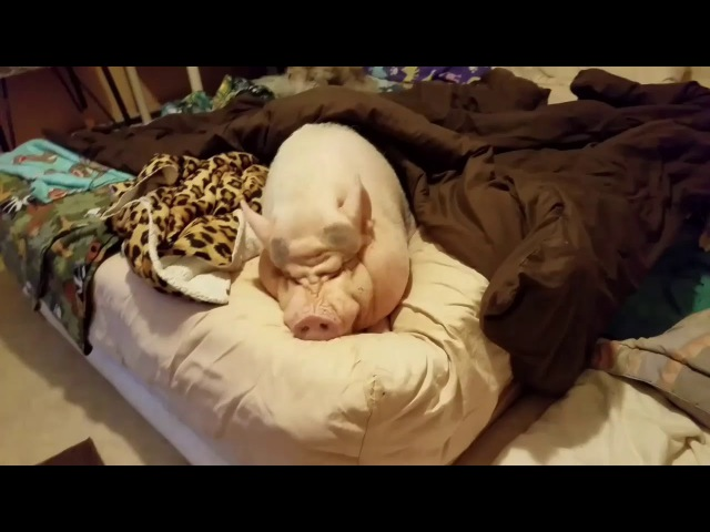 Mini Pig throwing a tantrum 😂 Sammy the Hammy the smiling Pig on Face book