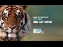 Big Cat Week Starts Monday 8th June on Animal Planet