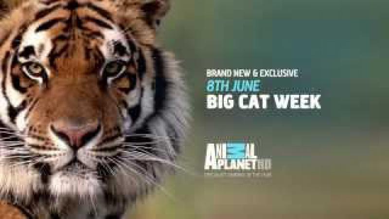 Big Cat Week - Starts Monday 8th June on Animal Planet