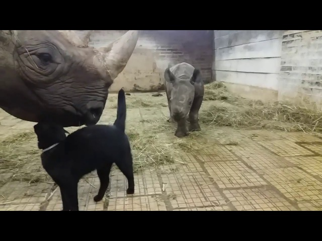 Cat Playing With Rhino - 975586