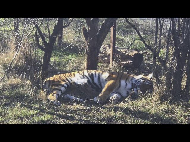 Тигрица Скарлетт и новорожденные тигрята 2. Тайган