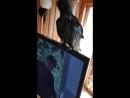 Чёрный воронёнок