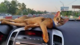 Abyssinian cat traveling by car. Абиссинская кошка путешествует на машине
